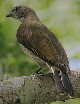 Flickr - Rainbirder - Scaly-throated Honeyguide (Indicator variegatus) (1)