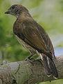 Flickr - Rainbirder - Scaly-throated Honeyguide (Indicator variegatus) (1).jpg