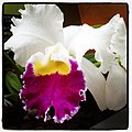 Flickr - USCapitol - Clown Show orchid at USBG..jpg