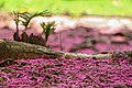 Flores de jambeiro ao chão.jpg