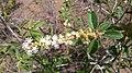 Flores e Fruto de uma Planta conhecida como Velame-Ba.jpg