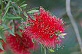 Flower, Bottlebrush - Flickr - nekonomania.jpg