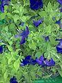 Flowers grown in green house, Wafra, Kuwait.jpg