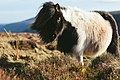 Fluffy piebald pony (Unsplash).jpg