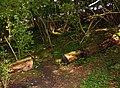 Footpath through the fallen tree - geograph.org.uk - 1442884.jpg