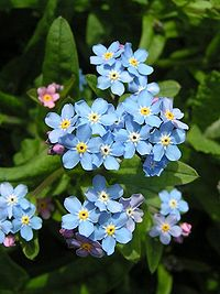 Forget-me-not close 600