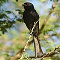 Fork-tailed Drongo, Dicrurus adsimilis, at Marakele National Park, Limpopo, South Africa (31836920887).jpg