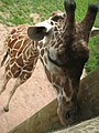 Fort Wayne Children's Zoo reticulated giraffe.jpg