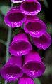 Foxglove (5781411345).jpg