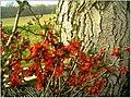 Frühling Quitte - panoramio.jpg