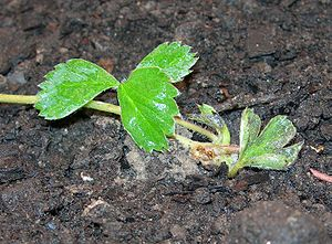 Fragaria iturupensis - Image: Fragaria Iturupensis