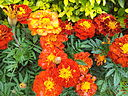 French Marigold from Lalbagh Flowershow - August 2012 095933