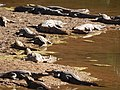 Freshwater crocs at windjana gorge.jpg