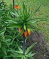 Fritillaria imperialis 2016-04-19 7824.JPG