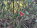 Fruits Églantinier Chemin Fasses - Saint-Cyr-sur-Menthon (FR01) - 2020-10-31 - 1.jpg