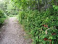 Fuchsias in the hedgerow - geograph.org.uk - 1364812.jpg