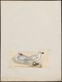 Fulmarus niveus - 1820-1860 - Print - Iconographia Zoologica - Special Collections University of Amsterdam - UBA01 IZ17900106.tif