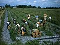 Future Farmers of America picking tomatoes- Palmetto, Florida (8630398003).jpg