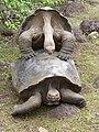 Galapagos Tortoise Mating.jpg