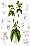 Galinsoga parviflora Sturm16