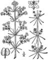 Galium verum BB-1913.png