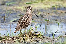 Long-legged bird with long bill wading in marsh