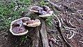 Ganoderma austroafricanum 854635.jpg