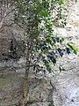 Garcinia talbotii-1-meenmudii-kerala-India.jpg