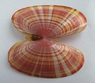 <i>Gari</i> (bivalve) genus of molluscs