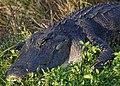 Gator (9149193264).jpg
