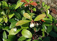 Gaultheria procumbens in flower