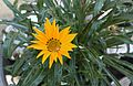 Gazania flower - 11.jpg