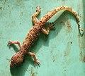 Gecko Lizard.jpg