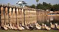 Geese Parade, U Bein Bridge in Amarapura.jpg