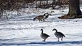 Geese on Goat Island in winter (43428160830).jpg