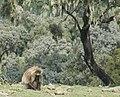 Gelada Baboon (2448338206).jpg