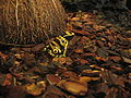 Gelbgebänderter Baumsteiger Dendrobates leucomelas1.jpg