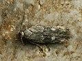 Gelechia sestertiella (40196077334).jpg