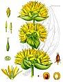 Gentiana lutea - Köhler–s Medizinal-Pflanzen-066.jpg