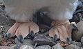 Gentoo penguin feet by Bruce McAdam.jpg
