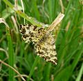 Geometridae. Pseudopanthera macularia . Speckled Yellow - Flickr - gailhampshire.jpg