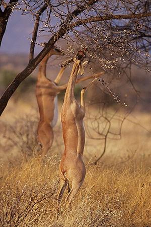 Antilopinae - Gerenuk (Litocranius walleri)