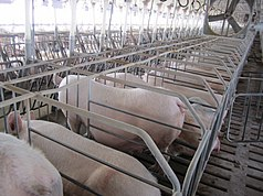 A row of cages made of large, widely spaced metal bars with no tops but with two long straps running over the pigs' heads and forequarters. In each cage, nearly filling the available space, is a large pink pig, facing away from the camera. One pig is standing, showing a large belly with several prominent teats. In front of the row of pigs is a cement area followed by another row of pigs facing them; a piece of paper is clipped to a string above each pig's head. Traces of blue markings are visible on the hindquarters of some pigs. A large three-bladed fan sits still over the row of pigs, and light filters in from some distance in front of the pigs, possibly obscuring another row of pigs. The floor is slatted, and chunks of excrement are visible.