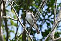 Giant Kingbird 2495229727.jpg