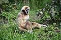 Gibbon à mains blanches (Zoo-Amiens).JPG
