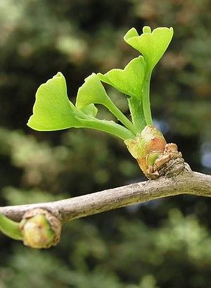 Ginkgo braquiblasto