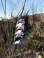 Gladiolus Cape.jpg