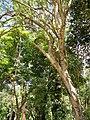 Gliricidia sepium - San Juan Botanical Garden - DSC07054.JPG