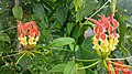 Gloriosa superba at madikai Kasaragod 01.jpg