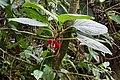 Glossoloma tetragonoides = Alloplectus tetragonoides (Gesneriaceae) (29575657072).jpg
